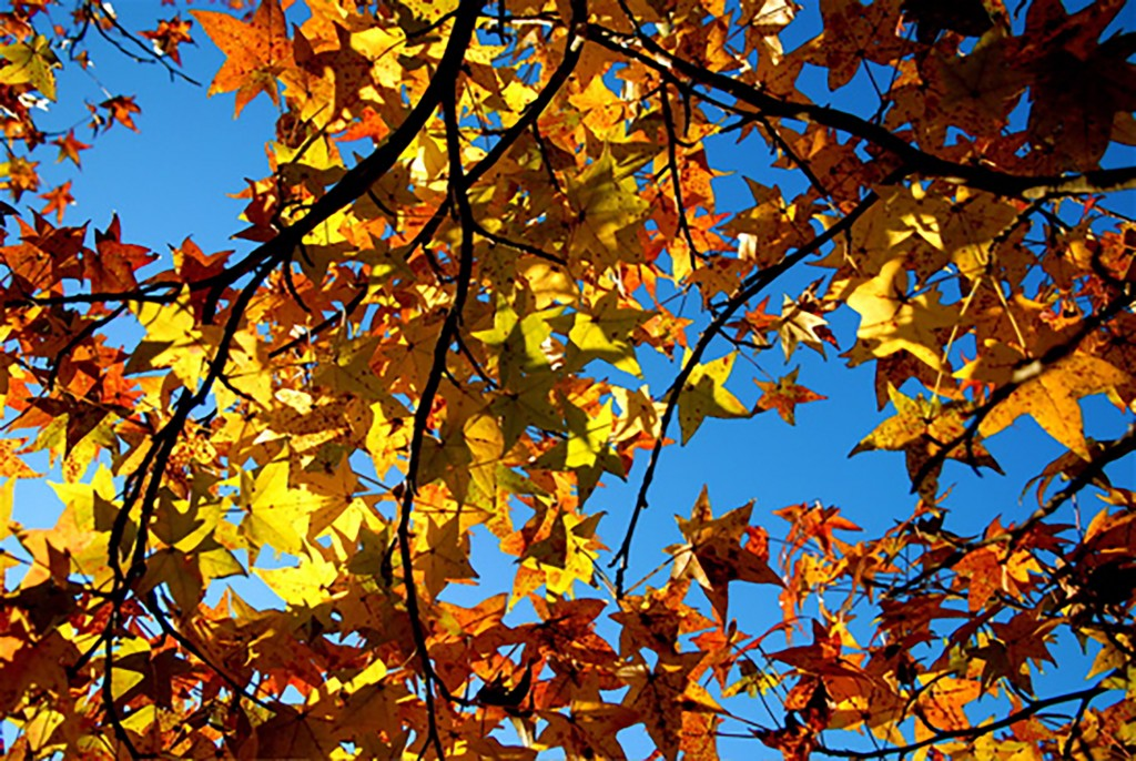 Fall leaves at the Arboretum in Tuscaloosa, Alabama. Photo used courtesy of the UA Arboretum.