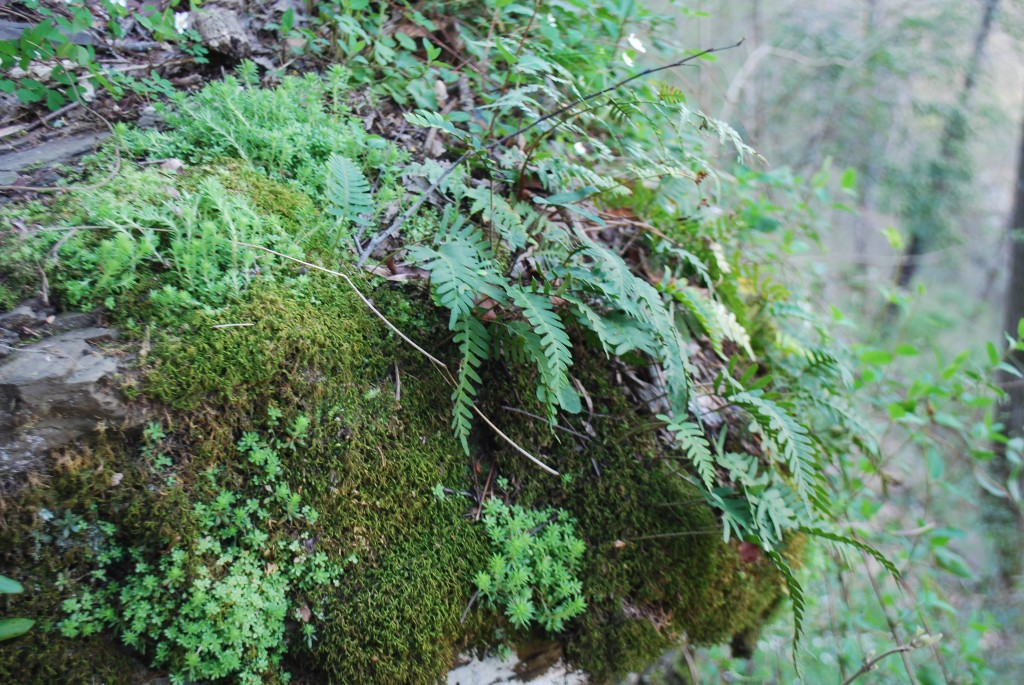 Moss grows on a rock at the Arboretum in Tuscaloosa, Alabama.